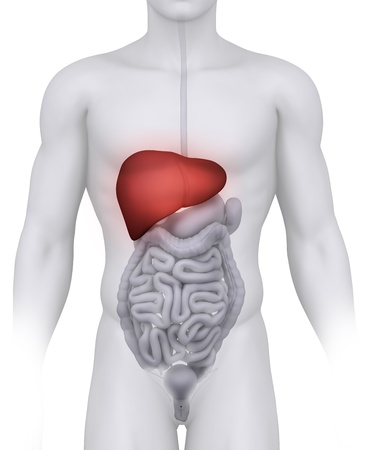 human liver: Male LIVER anatomy illustration on white  Stock Photo