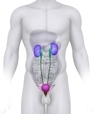 ejaculate: Male URINARY TRACT anatomy illustration on white  Stock Photo