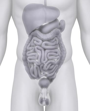 Male abdominal organs anatomy illustration on white illustration