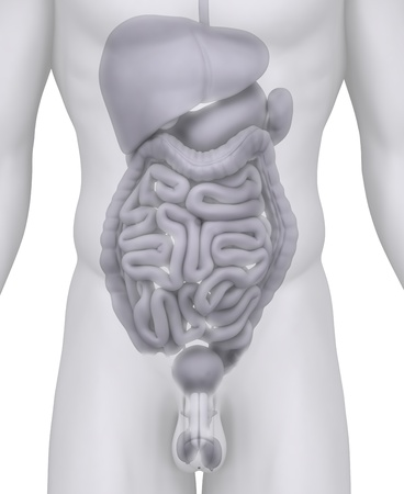 cecum: Male abdominal organs anatomy illustration on white Stock Photo