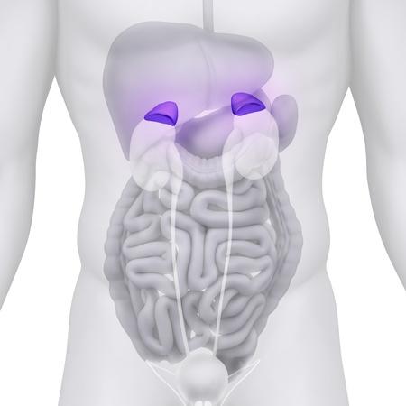 suprarrenales: Ilustración macho anatomía ADRENAL en blanco Foto de archivo
