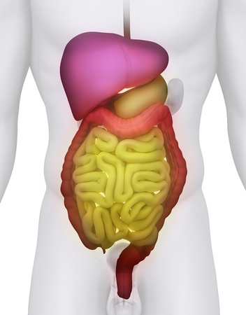 cecum: Male DIGESTIVE SYSTEM anatomy illustration on white