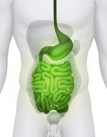 ileum: Male GUTS and STOMACH anatomy illustration on white ANGLE VIEW