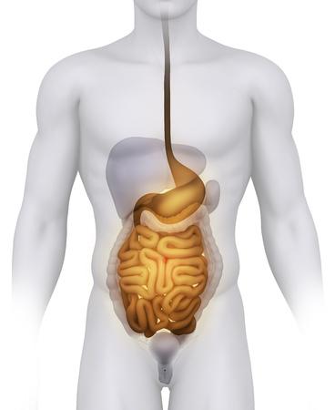 anatomical: Male DIGESTIVE anatomy illustration on white Stock Photo