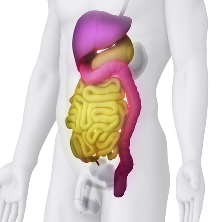 cecum: Male DIGESTIVE ORGANS anatomy illustration on white ANGLE VIEW