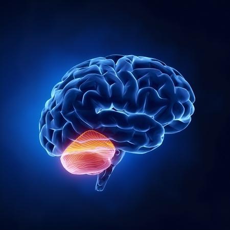 Cerebellum deel - Menselijke hersenen in x-ray zicht
