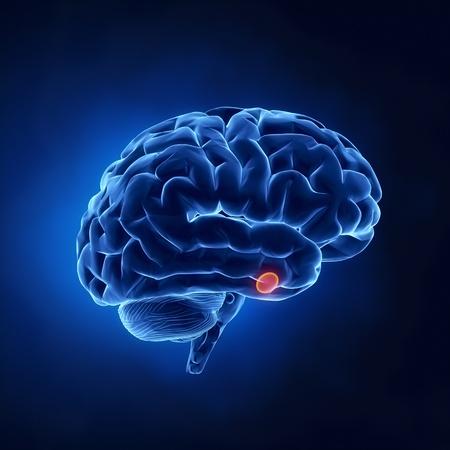 hipofisis: Parte de la glándula pituitaria - El cerebro humano, en vista de rayos X Foto de archivo