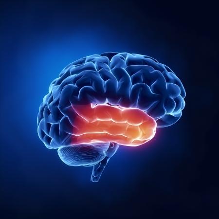 l�bulo: Del l�bulo temporal - El cerebro humano, en vista de rayos X Foto de archivo