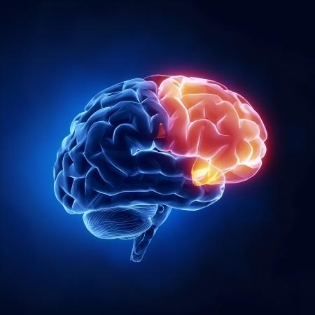 Frontal lobe - Human brain in x-ray view photo