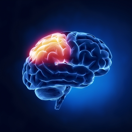 cerebro humano: L�bulo parietal - El cerebro humano, en vista de rayos X