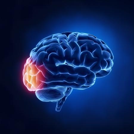 occipital: Occipital lobe - Human brain in x-ray view