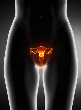 uterus: Female uterus anatomy anterior view Stock Photo