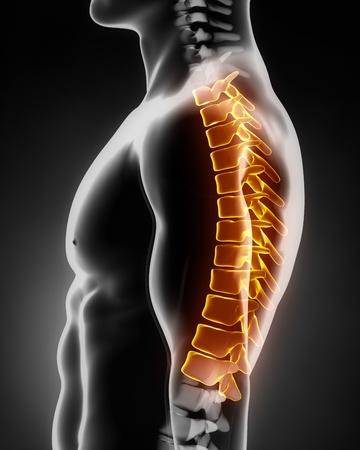 medula espinal: Anatomía de la columna torácica vista lateral izquierda