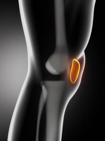 patella: Human knee patella anatomy lateral view