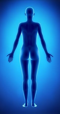 corps femme nue: Figure féminine en vue position postérieure anatomique