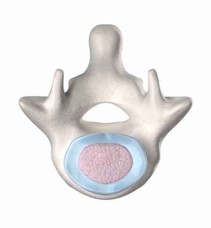 medula espinal: Disco intervertebral normal con núcleo puplposus - srtage 15