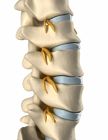 spinal cord: Backbone Spinal nerve  - side view Stock Photo