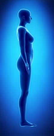 corps femme nue: Figure féminine en vue latérale position anatomique
