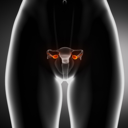 anterior: Female ovary anterior view