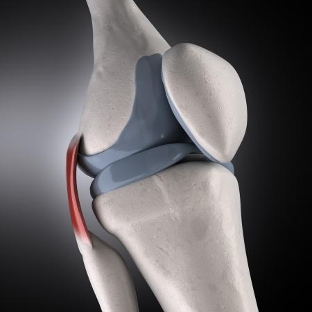 shin bone: human knee anatomy