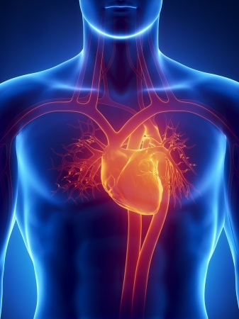 organos internos: Anatomía del corazón humano