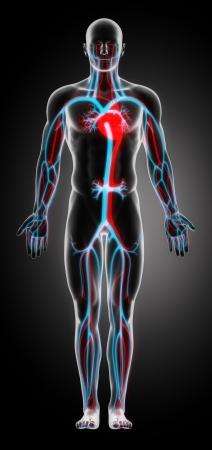circolazione: Anatomia del sistema cardiovascolare