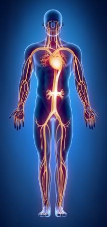 vasos sanguineos: Anatomía del aparato Cilculatory Foto de archivo