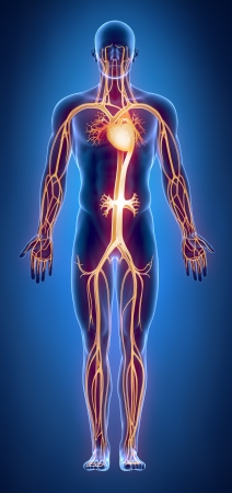 Cilculatory system anatomy Stock Photo - 15563821