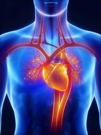 vasos sanguineos: Anatomía del sistema circulatorio