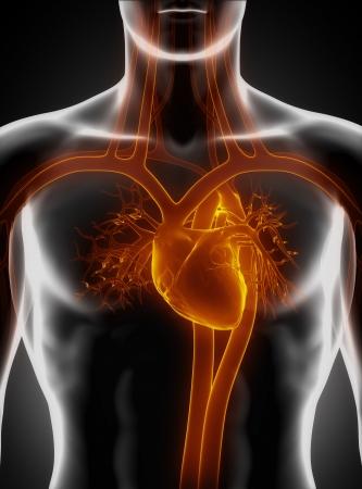 vasos sanguineos: Sistema cardiovascular con el corazón Foto de archivo