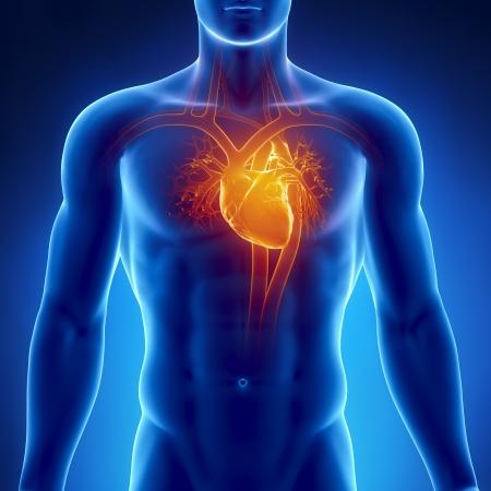 vasos sanguineos: Anatomía del corazón humano