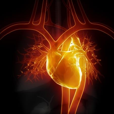 organos internos: Coraz�n que brilla intensamente con los �rganos internos Foto de archivo