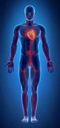 body blood: Cardiovascular system with glowing heart Stock Photo