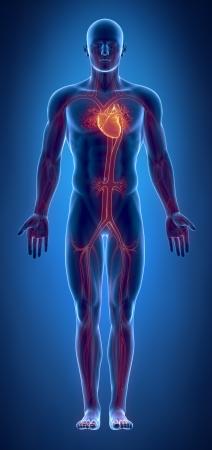 corazon humano: Sistema cardiovascular con el coraz�n ardiente Foto de archivo