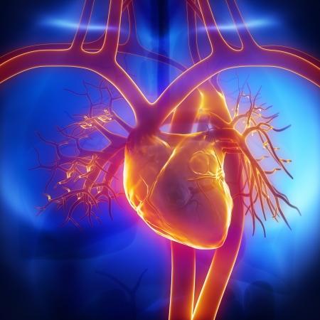 kardio: Pulmonalis törzs, véna, aorta a szív