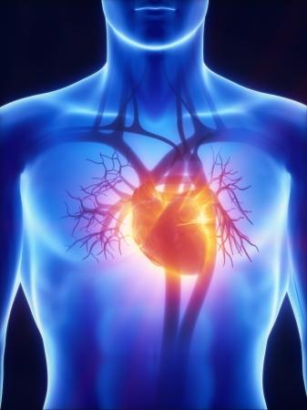 circolazione: X-ray sistema cardiovascolare Archivio Fotografico