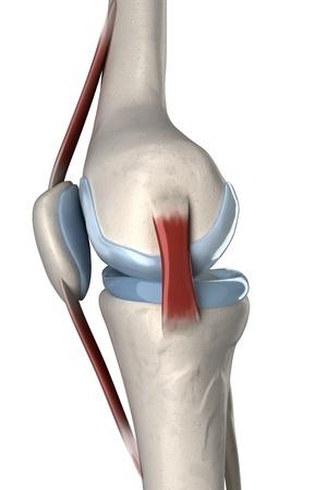 lateral: Aislado rodilla humana vista lateral anatom�a