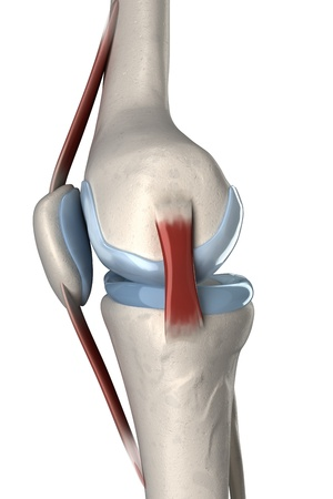 Isolated human knee anatomy lateral view photo