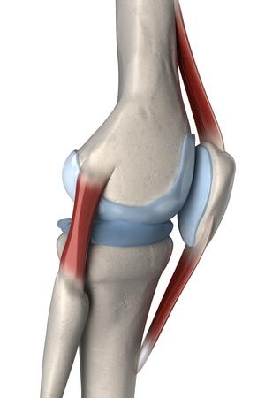 shin bone: Right lateral knee anatomy Stock Photo
