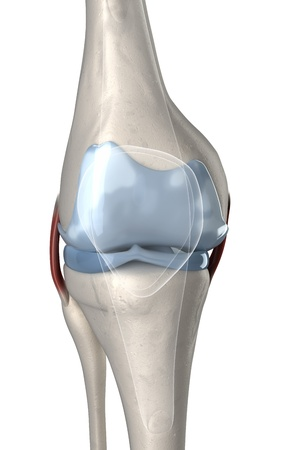 anatomy knee: Human knee anterior view with visible cartilage Stock Photo