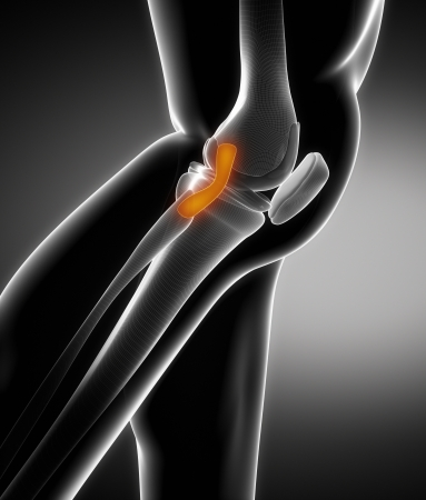 Knee ligament anatomy Stock Photo - 15563842