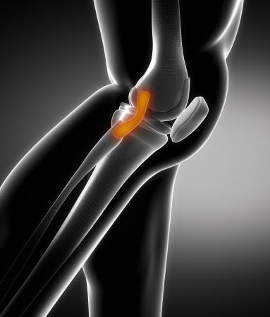knee cap: Knee ligament anatomy