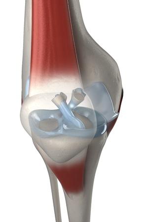ACL-und PCL-Anatomie Knie Kreuz Blick
