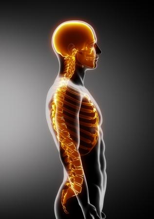 肋骨、背骨と頭蓋骨の側面図