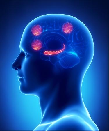 sulcus: Hippocampusas prefrontal cortex and cortex occipital of the intra-parietal sulcus
