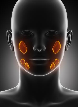 Salivaire vue lobe antérieur de l'anatomie Banque d'images - 17500583
