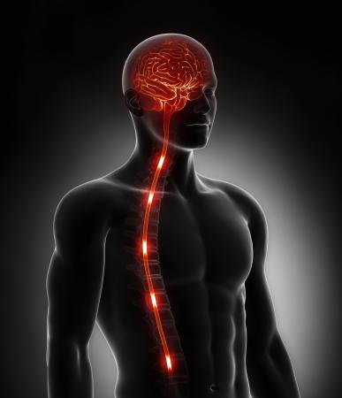 nervios: La m�dula espinal impulsos nerviosos en el cerebro de energ�a Foto de archivo