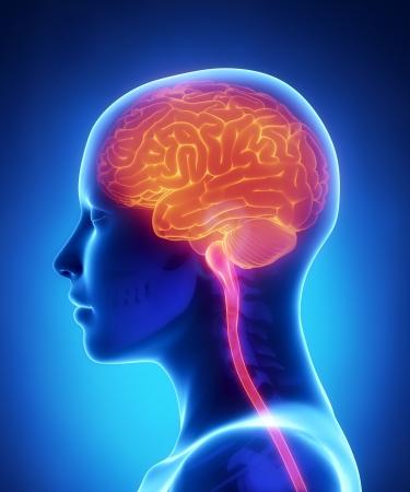 Femme vue latérale anatomie du cerveau Banque d'images - 19006240