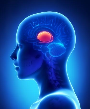 basal ganglia: Basal ganglia - female brain anatomy lateral view Stock Photo