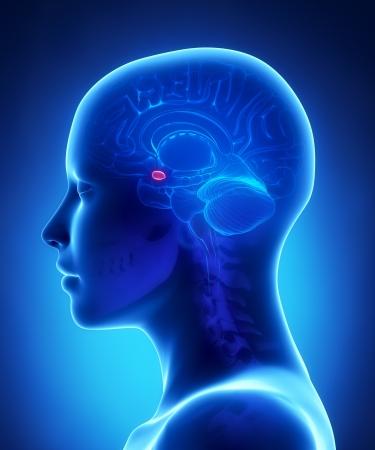 扁桃体 - 女性の脳解剖側面